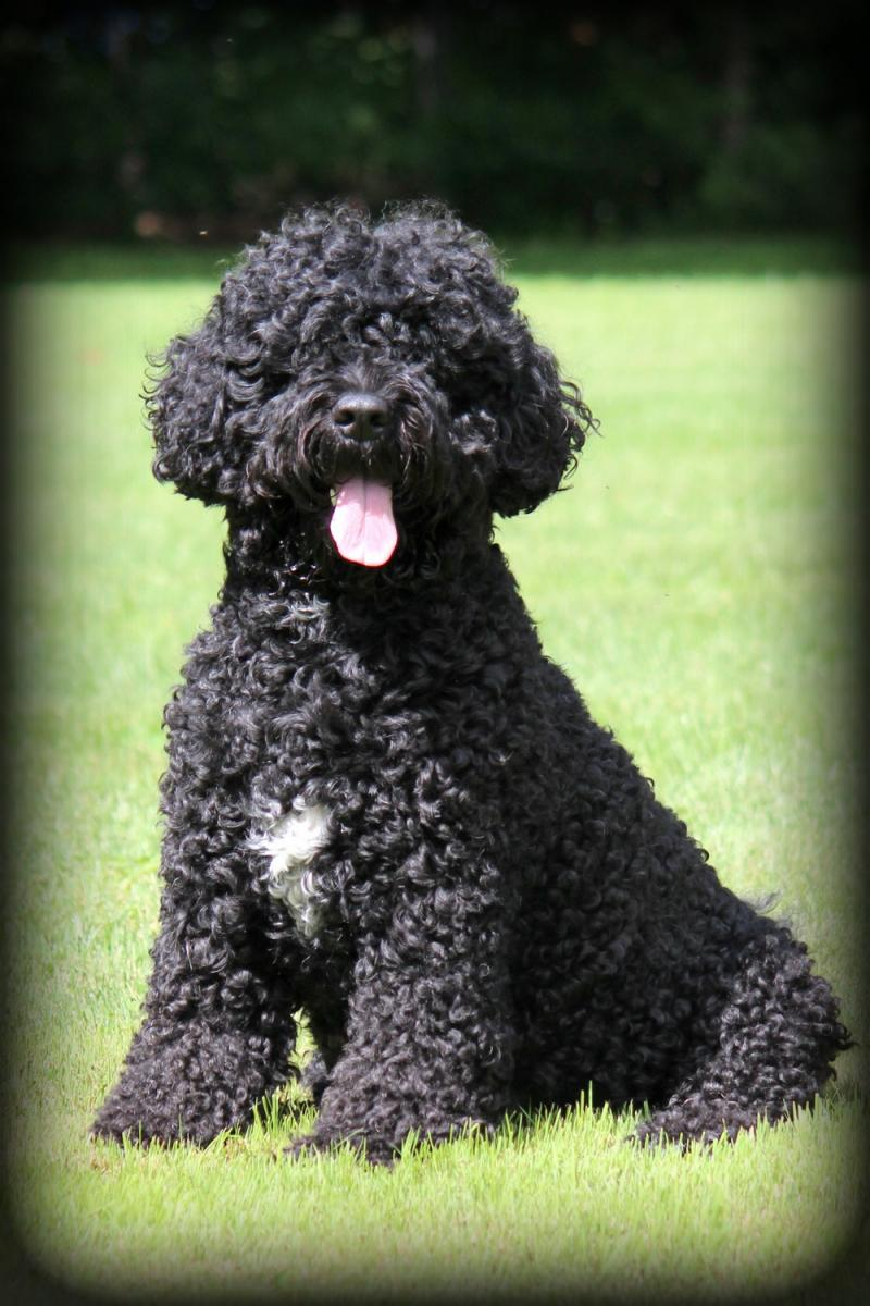 Riverwaves Portuguese Water Dogs The Portuguese Water Dog